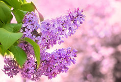 Lilac flower blooming Royalty Free Stock Photos