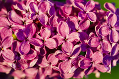 Lilac flower blossom tree Stock Images