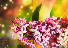 Lilac Flower with Bokeh Stock Photography