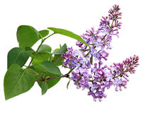 Lilac Flower Branch Stock Images
