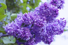 Lilac flower Royalty Free Stock Photos