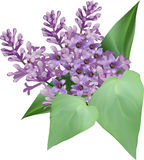 Lilac flower branch in green leaves illustration Royalty Free Stock Images