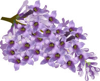 Lilac flower branch isolated on white background Royalty Free Stock Photography
