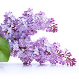 Lilac flower Stock Images