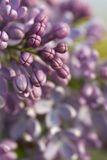 Lilac Flower Buds. Close up of beautiful fresh lilac flowers in Springtime Royalty Free Stock Photography