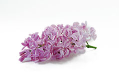 Lilac flower bunch Royalty Free Stock Photo