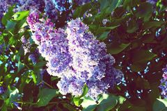 Lilac flower bush Stock Photo