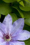 Lilac flower of  clematis Stock Image