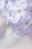 Lilac flower close-up background, macro photo Royalty Free Stock Images