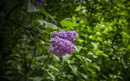 Lilac Flower. A close-up of a purple lilac flower Royalty Free Stock Photo