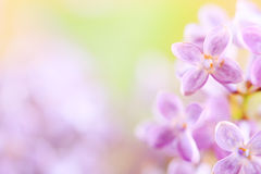 Lilac flower, detail Royalty Free Stock Photos