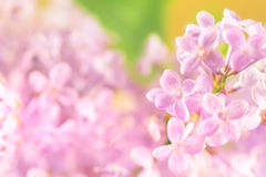 Lilac flower, detail Stock Photography