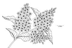 Lilac flower drawing illustration. Black and white with line art. Lilac flower drawing illustration. Black and white with line art on white backgrounds Royalty Free Stock Image
