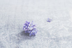 Lilac flower with empty space over grey concrete background. Single lilac flower with empty space over grey concrete background Royalty Free Stock Photography