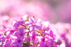 Lilac flower with five petals macro Stock Image