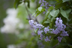 Lilac in flower garden Royalty Free Stock Images