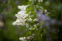 Lilac in flower garden Stock Image