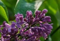 Lilac flower with raindrops sparkling. Lilac flower in the garden after the rain with beautiful sunlight stock photo