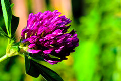 Lilac  flower on green abstract background Stock Images