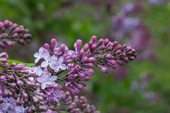 Lilac flower with green leaves and stalk on tree Stock Photography