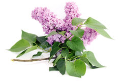 Lilac flower with green leaves on white Stock Photo