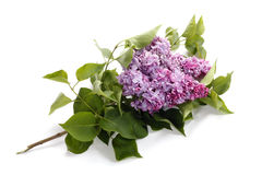Lilac flower isolated stock images