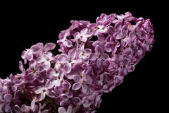 Lilac flower isolated on black stock photo