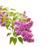 Lilac flower isolated Royalty Free Stock Images