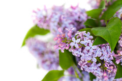 Lilac flower isolated on white background. Studio Shot horizontal shot Royalty Free Stock Images