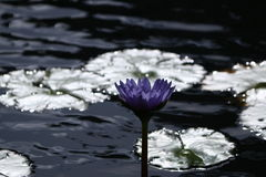 Lilac flower and lily pads in a pond Stock Photo