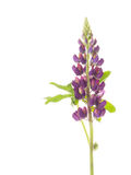 Lilac flower lupine Royalty Free Stock Image