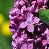 Lilac flower. Macro detail of lilac flower in the spring stock photos