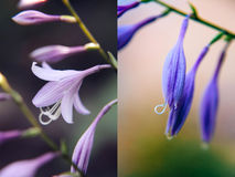 Lilac flower on the outside bell Royalty Free Stock Photos
