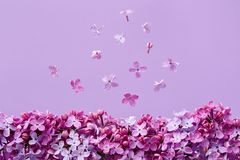 Lilac blossoms on purple background. royalty free stock images