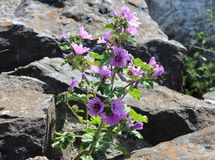 Lilac flower on the rock Royalty Free Stock Image