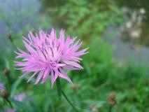 Lilac flower Siberian cornflower on macrophoto stock photo
