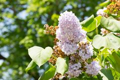 Lilac flower. Soft light purple lilac flower in full bloom in the spring Royalty Free Stock Photos