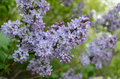 The lilac flower Royalty Free Stock Photo