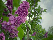 Lilac flower spring blossom. Lilacs are frequently considered a harbinger of spring royalty free stock photos