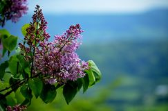 Lilac flower with spring time landscape royalty free stock photography