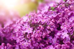 Lilac flower sunny spring background. Fresh lilac flower spring background royalty free stock photos