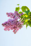 Lilac flower, Syringa vulgaris Royalty Free Stock Photo