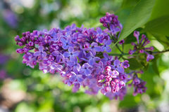Lilac flower, Syringa vulgaris Stock Photography