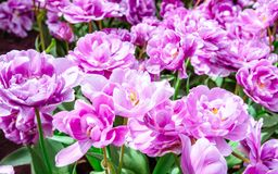 Lilac flower tulip. Lush flower petals on a background of bright verdure.  Royalty Free Stock Photography