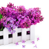 Lilac flower twig in decoration box Royalty Free Stock Photography