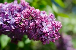 Lilac flower under the blue sky, against beautiful bokeh and sparkling lights. Stock Images