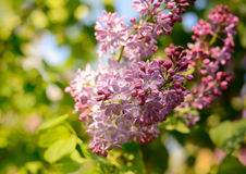 Lilac flower under the blue sky. Spring flowers background Stock Photo