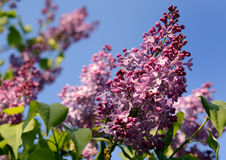 Lilac flower under the blue sky. Spring flowers background Stock Photos