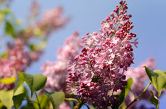 Lilac flower under the blue sky. Spring flowers background Royalty Free Stock Images
