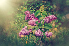 Lilac flower in vase out doors Royalty Free Stock Photo
